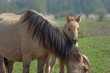 Konik foal behind its mother in nature