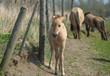 Konik foal near a fence in spring