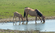 Konik foal and mother drinking from a lake
