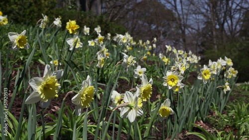 Daffodils growing on a hill