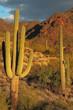 Sonoran desert landscape and cactus details