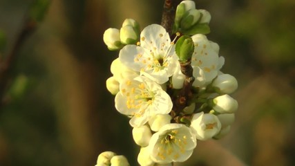 Spring Flowers - Greengage Blossom