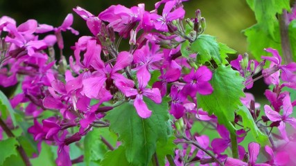 Spring Flowers - Purple Honesty