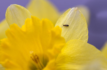 Small ant on  Daffodil