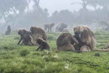 gelada monkeys in ethiopia