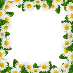 Daisies frame on the white background