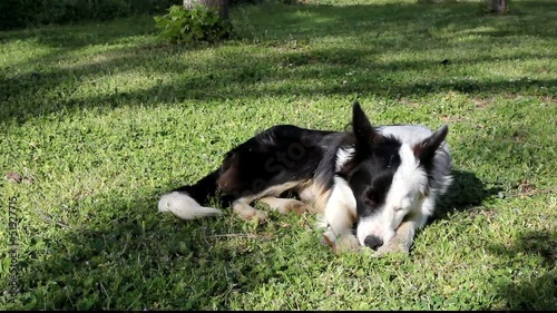 Giovane femmina di Border Collie - Young female Border Collie