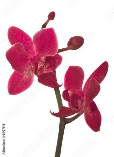 samodzielnie-na-bialy-oddzial-z-dwoma-czerwone-orchidee