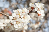 branch of cherry tree with  flowers