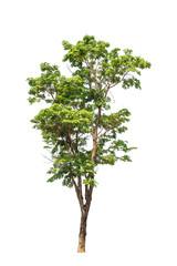 Pterocarpus indicus tree