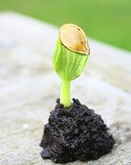 germination de graine de courgette