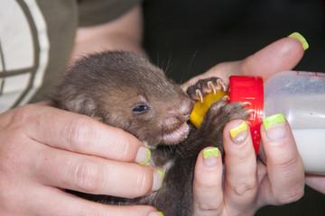 Stone marten (Martes foina) baby in a wildlife rescue center