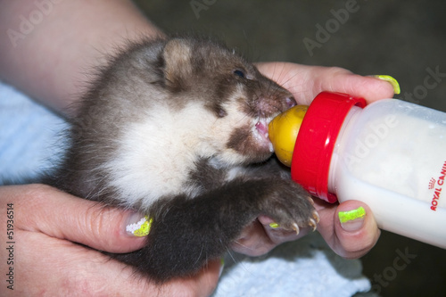 Stone marten (Martes foina) baby in a wildlife rescue center