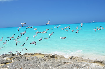 Seagulls at the coast of Little Exuma, Bahamas