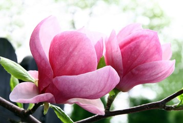 splendid pink flowers of magnolia