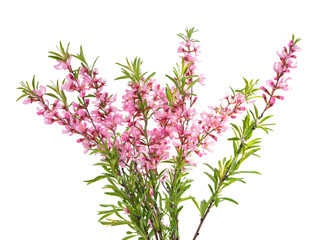 branch with pink flowers