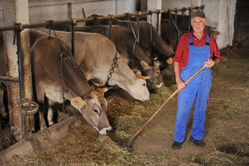 Farmer is working on a organic farm with cows