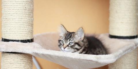 Cucciola color brown di gatto siberiano