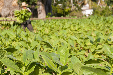 Cuban farmer collects the harvest of tobacco field