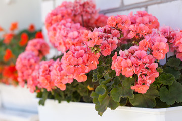 garden geranium flowers
