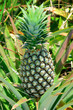 Pineapple in farm