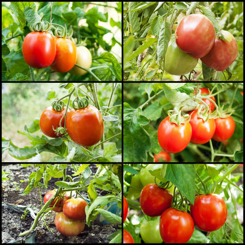 red tomatoes grow on twigs.