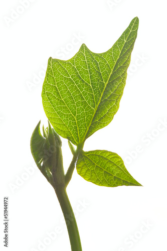 Green bean leaf isolated on white