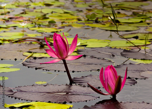 Water lily in pond at Taman Ayun temple, Bali