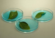 Genetically modified leaves tested in petri dish,