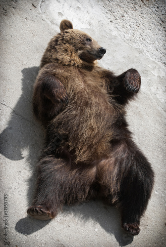 Brown bear lying on the ground