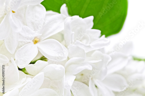 Foto op Canvas Macro Beautiful white Lilac . Isolated over white .