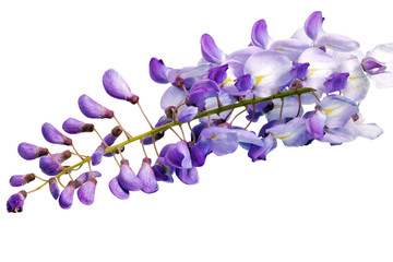 Beautiful Wisteria flowers isolated.On white background