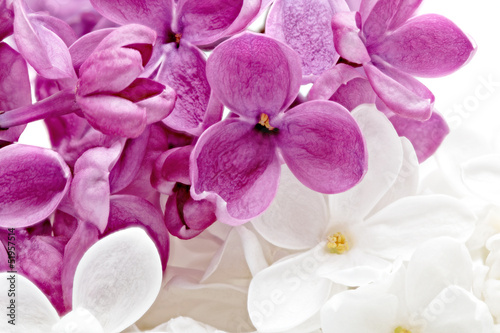 Beautiful Bunch of violet and white Lilac