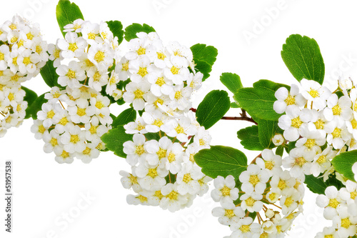 Foto op Canvas Macro Beautiful white flowering shrub Spirea aguta (Brides wreath).