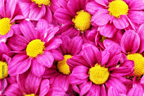 Foto op Canvas Macro Beautiful violet red dahlia flowers.Сloseup