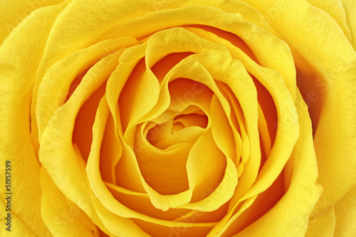 Foto op Aluminium Macro Beautiful yellow rose flower. Сloseup