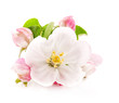 Apple tree flowers isolated on white, spring blossoms