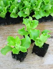 plants de salade batavia