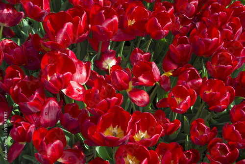red tulips close up in detail