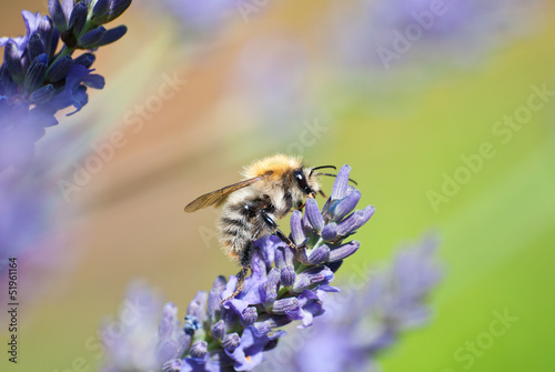 Bumble bee on lavender flower.