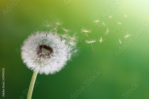 canvas print picture Dandelion clock in morning sun