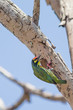 Coppersmith Barbet bird at his home on the tree