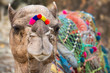 Camel with colored decoration in Pushkar, Rajasthan, India