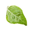 Apple leaf isolated on white background