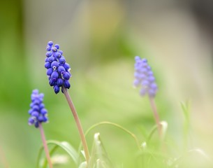 Macro shot of the spring blue muscari (Hyacinth).