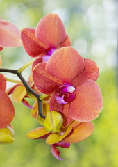 orange orchid close up