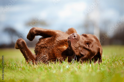 brown labrador dog rolling on the grass