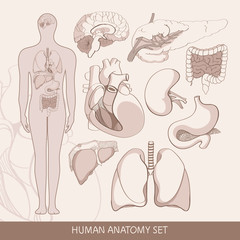 Vector set of human  organs