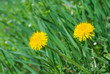 Dandelion family in spring grass.