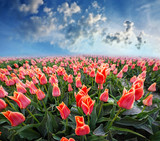 tulips field and blue sky